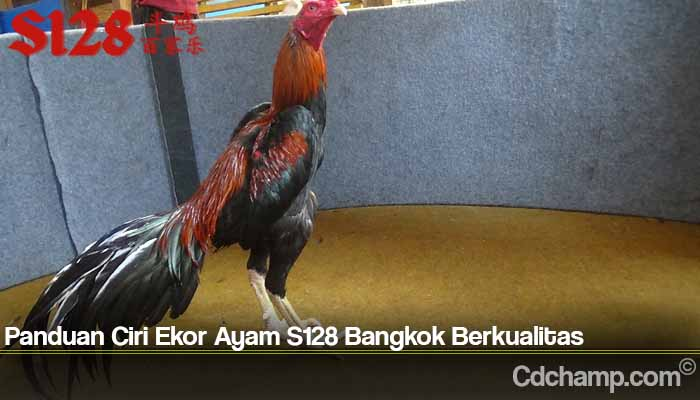 Panduan Ciri Ekor Ayam S128 Bangkok Berkualitas