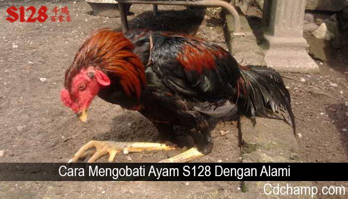 Cara Mengobati Ayam S128 Dengan Alami