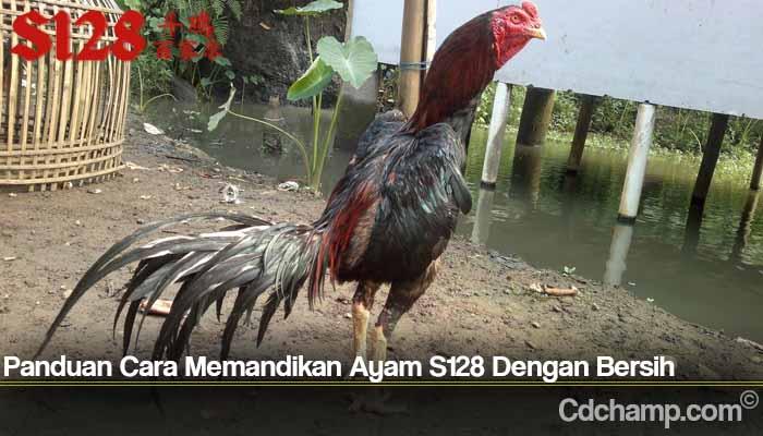 Panduan Cara Memandikan Ayam S128 Dengan Bersih
